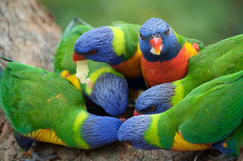 Rainbow Lorikeets, Feasting